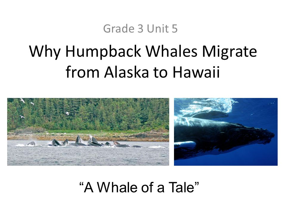 Why Humpback Whales Migrate from Alaska to Hawaii