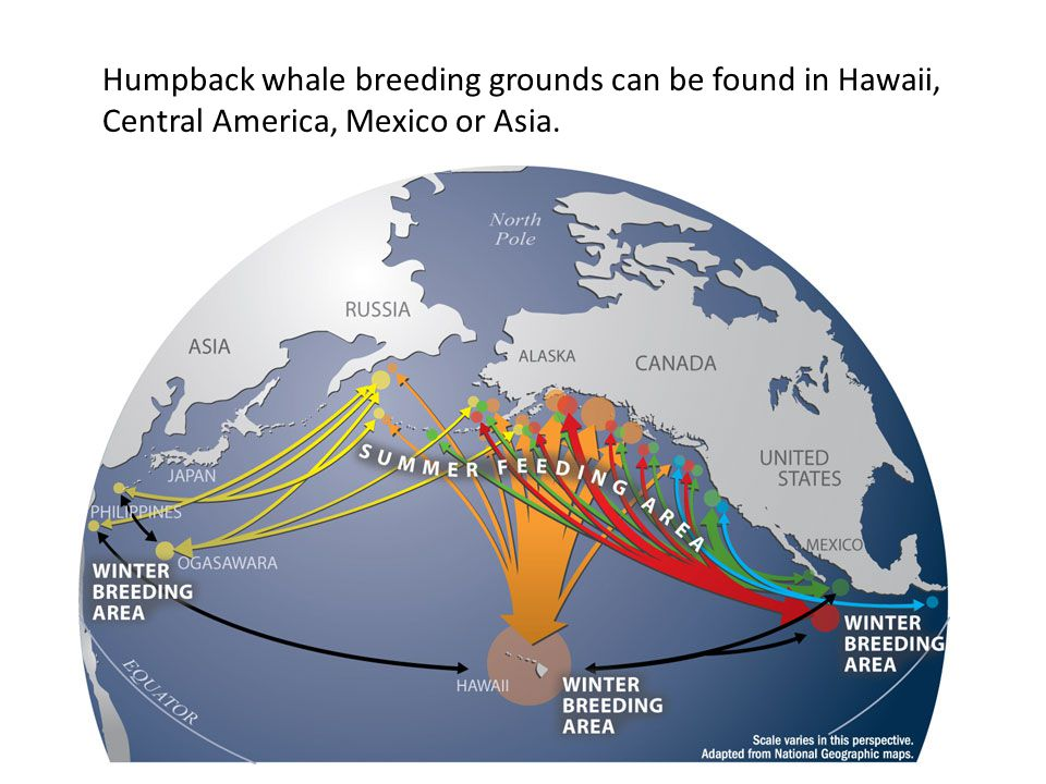 Humpback whale breeding grounds can be found in Hawaii, Central America, Mexico or Asia.