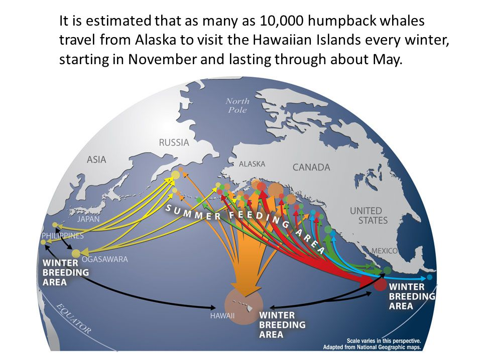 It is estimated that as many as 10,000 humpback whales travel from Alaska to visit the Hawaiian Islands every winter, starting in November and lasting through about May.