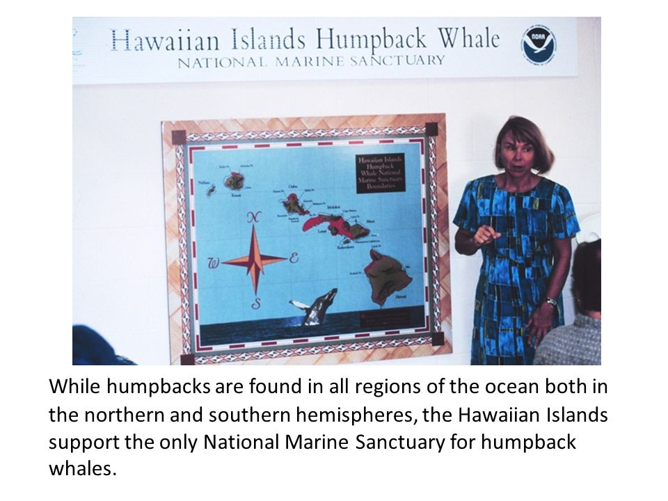 While humpbacks are found in all regions of the ocean both in the northern and southern hemispheres, the Hawaiian Islands support the only National Marine Sanctuary for humpback whales.