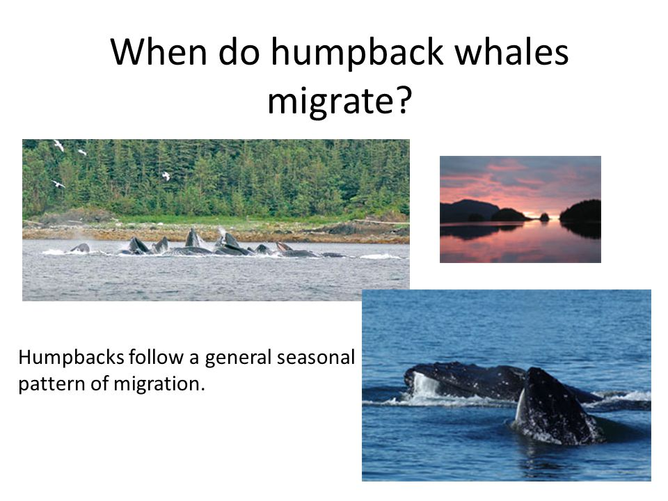 When do humpback whales migrate