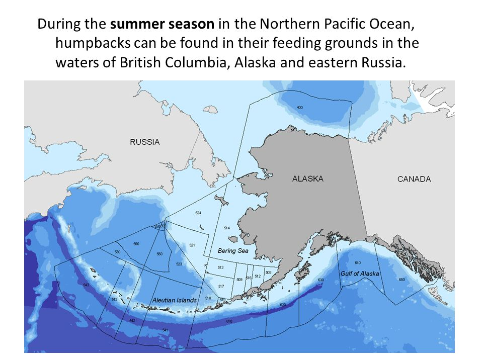 During the summer season in the Northern Pacific Ocean, humpbacks can be found in their feeding grounds in the waters of British Columbia, Alaska and eastern Russia.