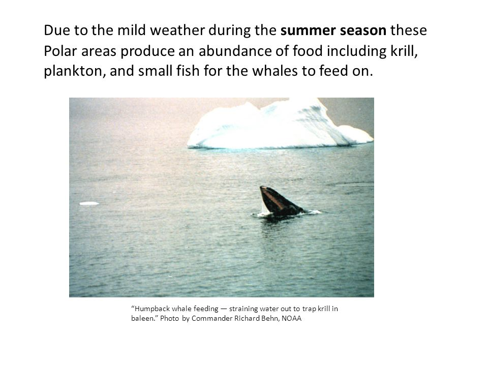 Due to the mild weather during the summer season these Polar areas produce an abundance of food including krill, plankton, and small fish for the whales to feed on.