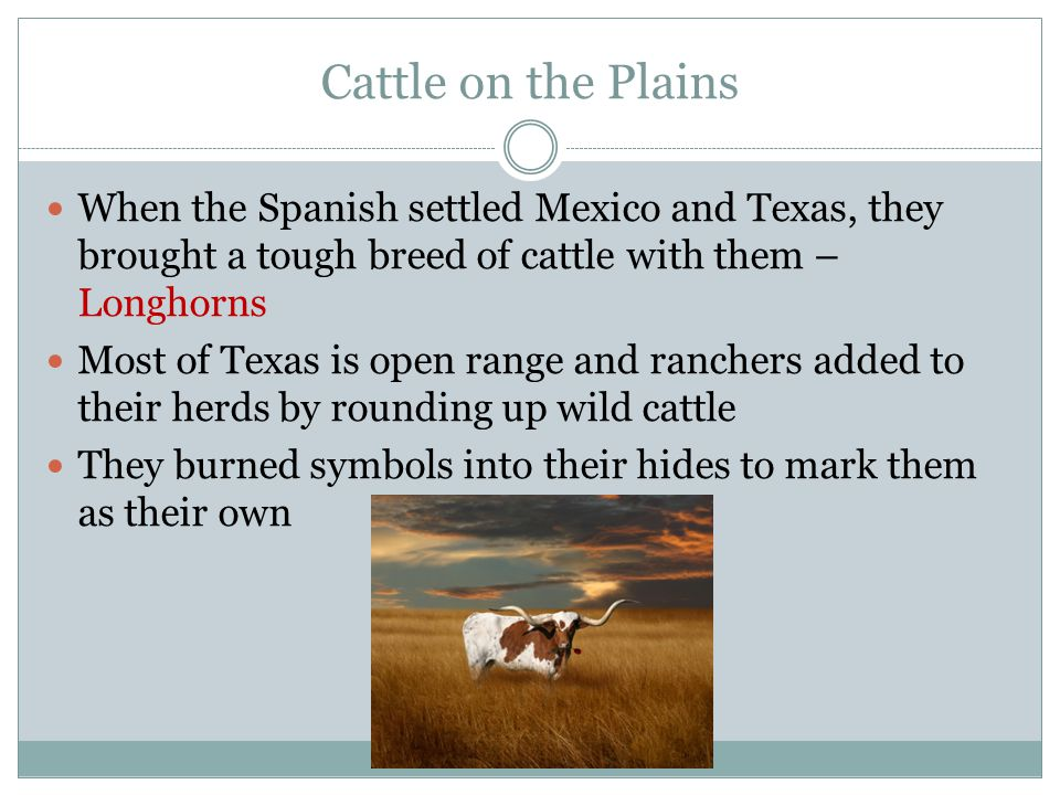 Cattle on the Plains When the Spanish settled Mexico and Texas, they brought a tough breed of cattle with them – Longhorns.