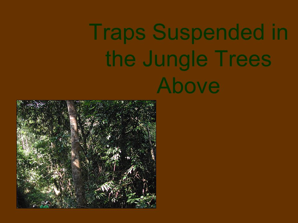 Traps Suspended in the Jungle Trees Above