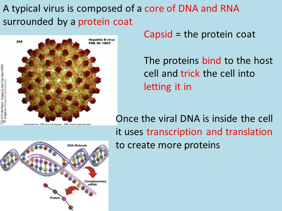 A typical virus is composed of a core of DNA and RNA surrounded by a protein coat