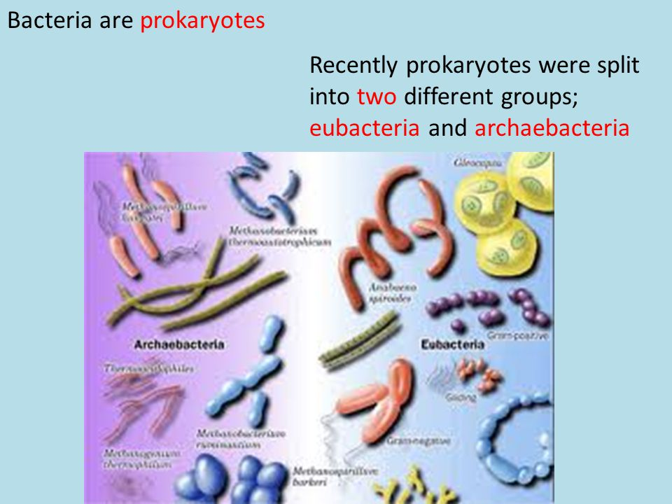 Bacteria are prokaryotes