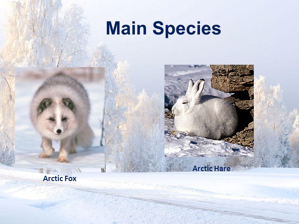 Main Species Arctic Hare Arctic Fox
