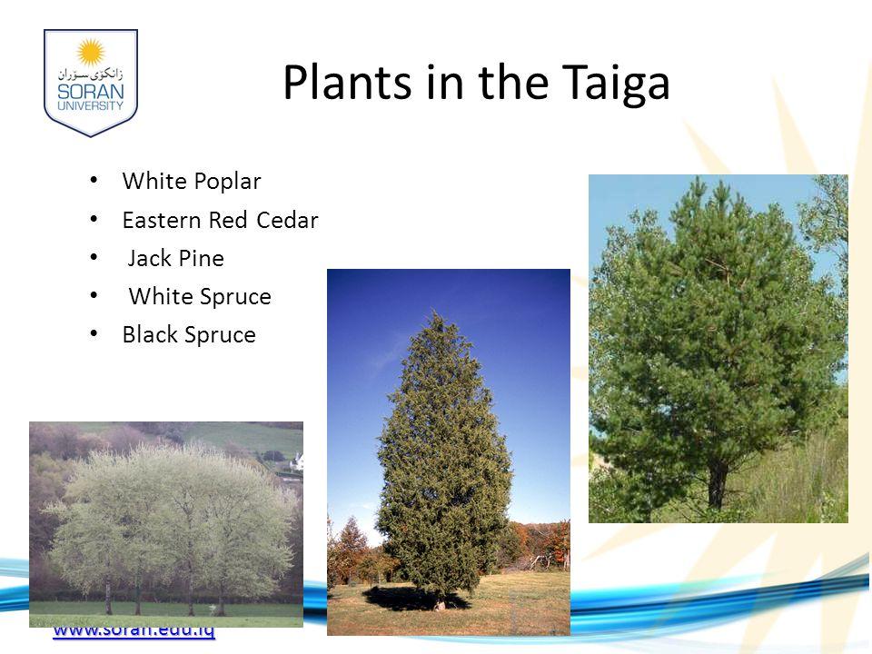 Plants in the Taiga White Poplar Eastern Red Cedar Jack Pine