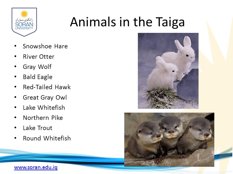 Animals in the Taiga Snowshoe Hare River Otter Gray Wolf Bald Eagle
