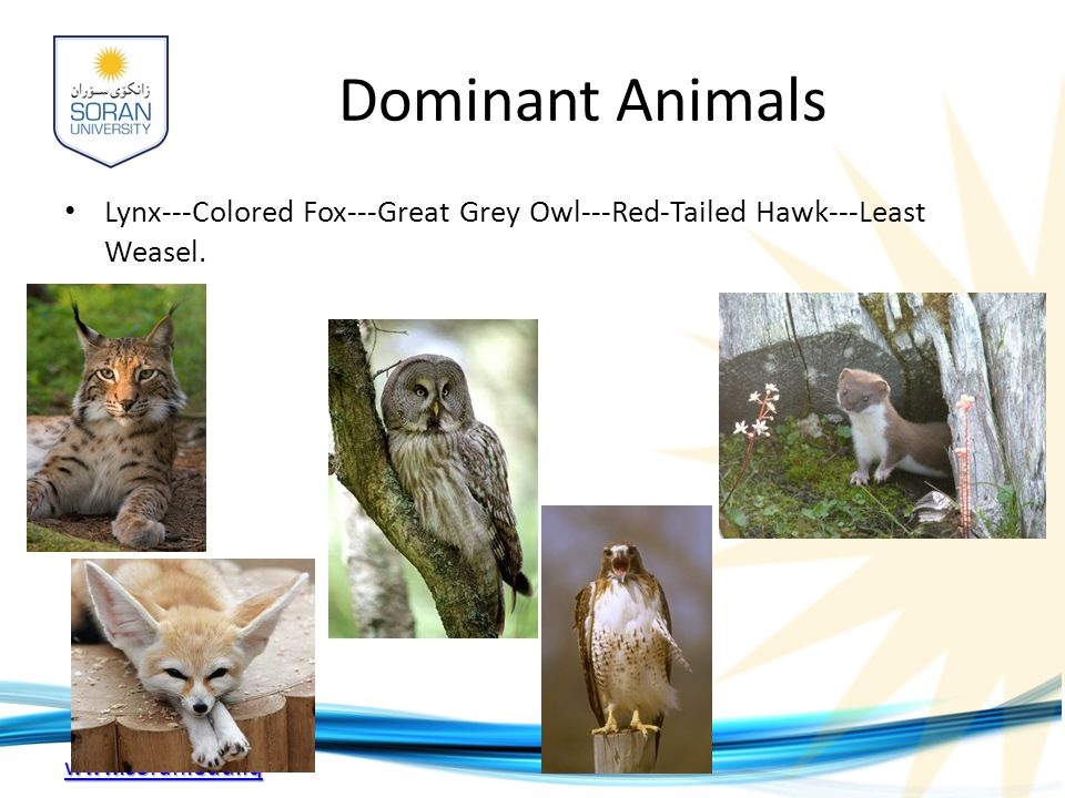 Dominant Animals Lynx---Colored Fox---Great Grey Owl---Red-Tailed Hawk---Least Weasel.