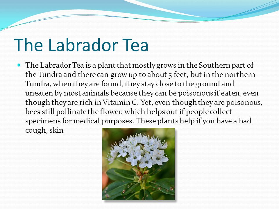 The Labrador Tea