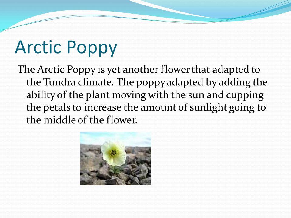 Arctic Poppy