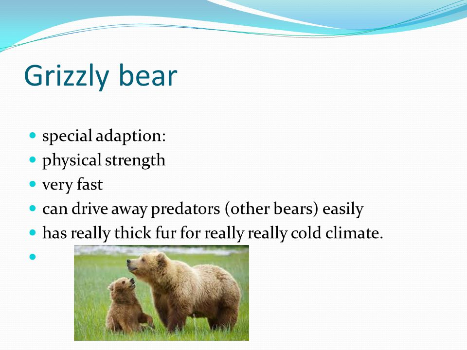 Grizzly bear special adaption: physical strength very fast