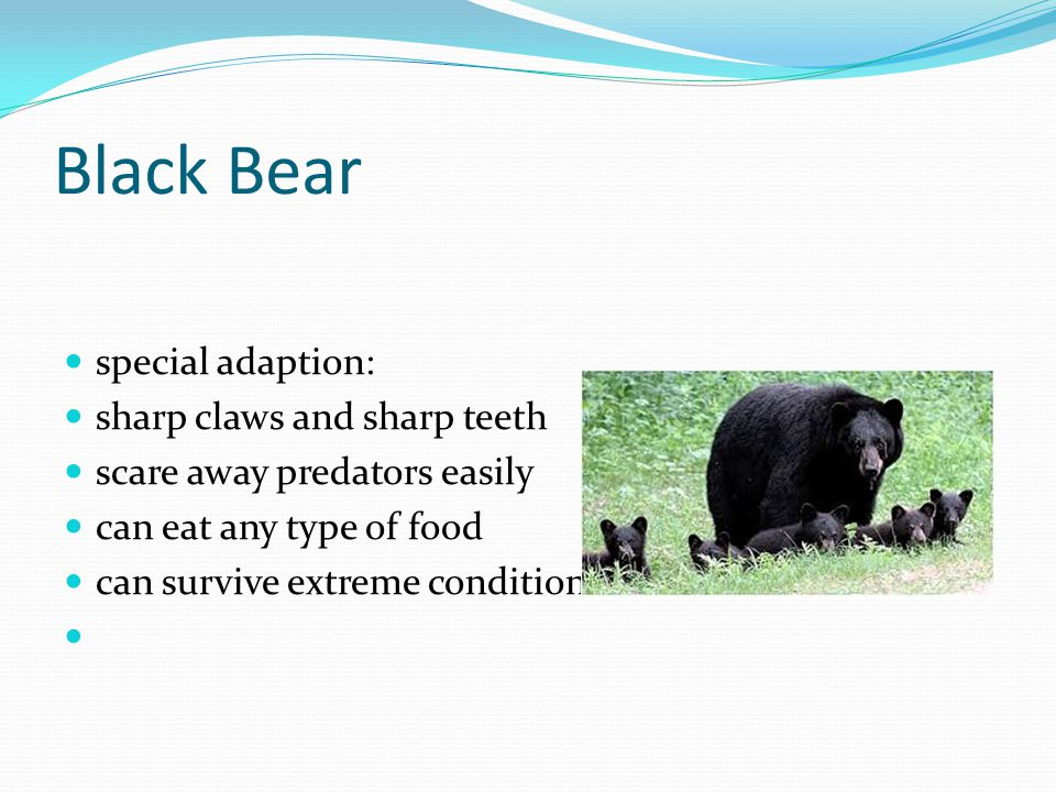 Black Bear special adaption: sharp claws and sharp teeth