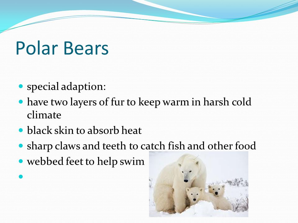 Polar Bears special adaption: