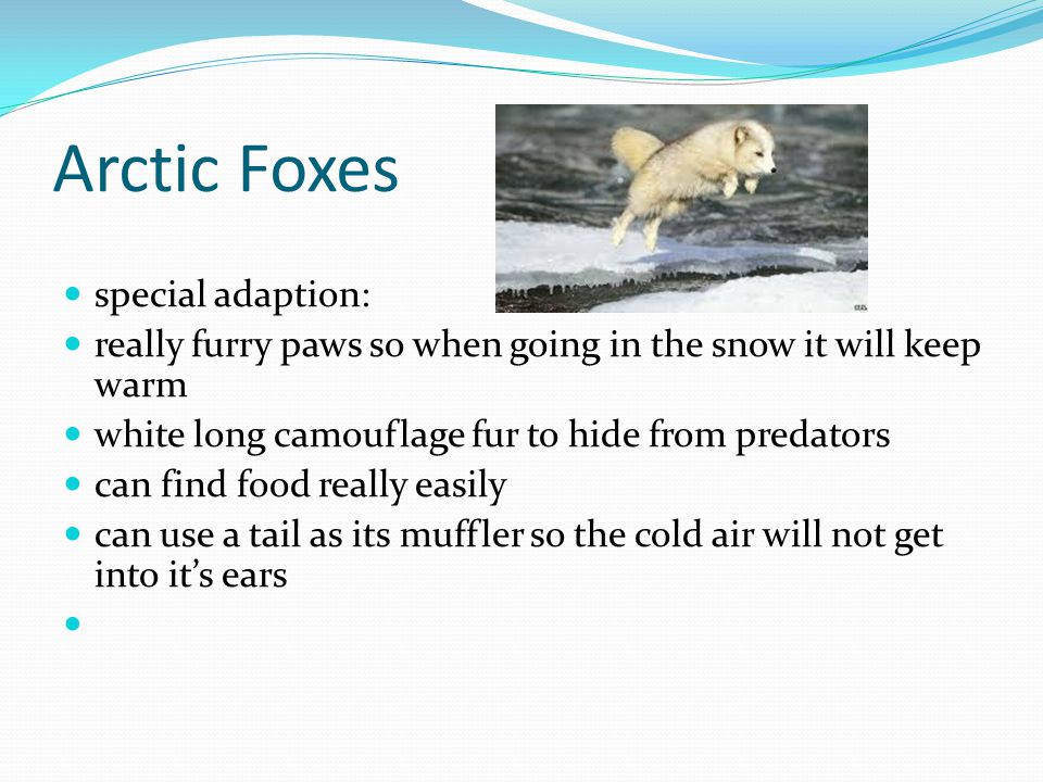 Arctic Foxes special adaption: