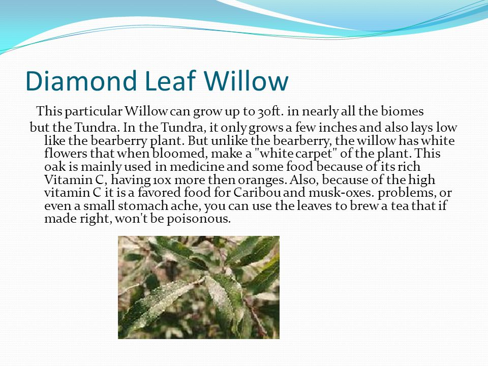 Diamond Leaf Willow