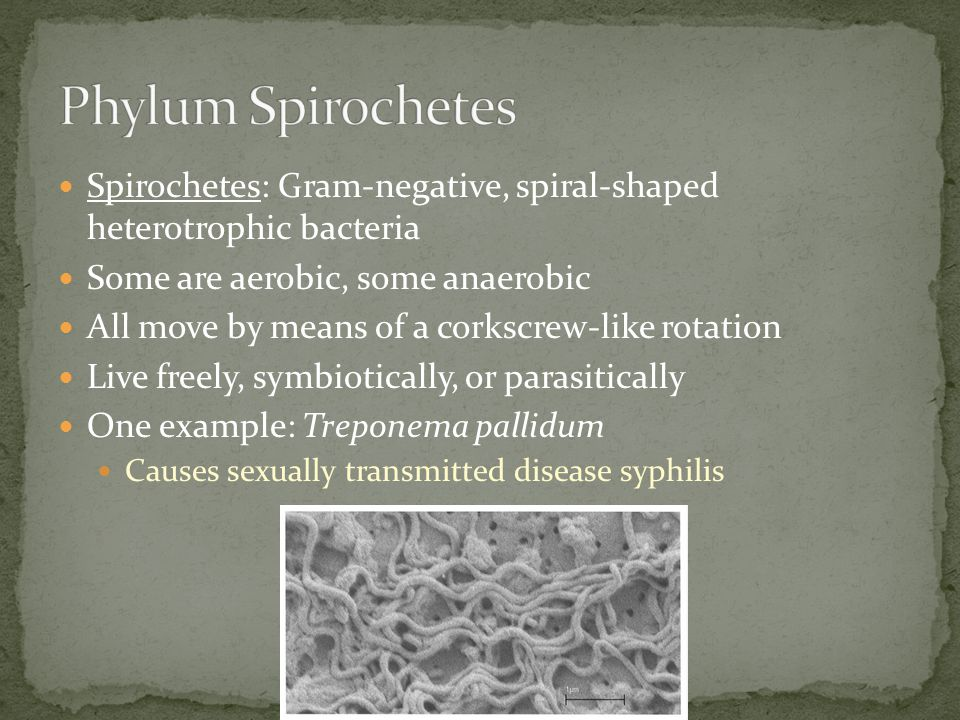Phylum Spirochetes Spirochetes: Gram-negative, spiral-shaped heterotrophic bacteria. Some are aerobic, some anaerobic.