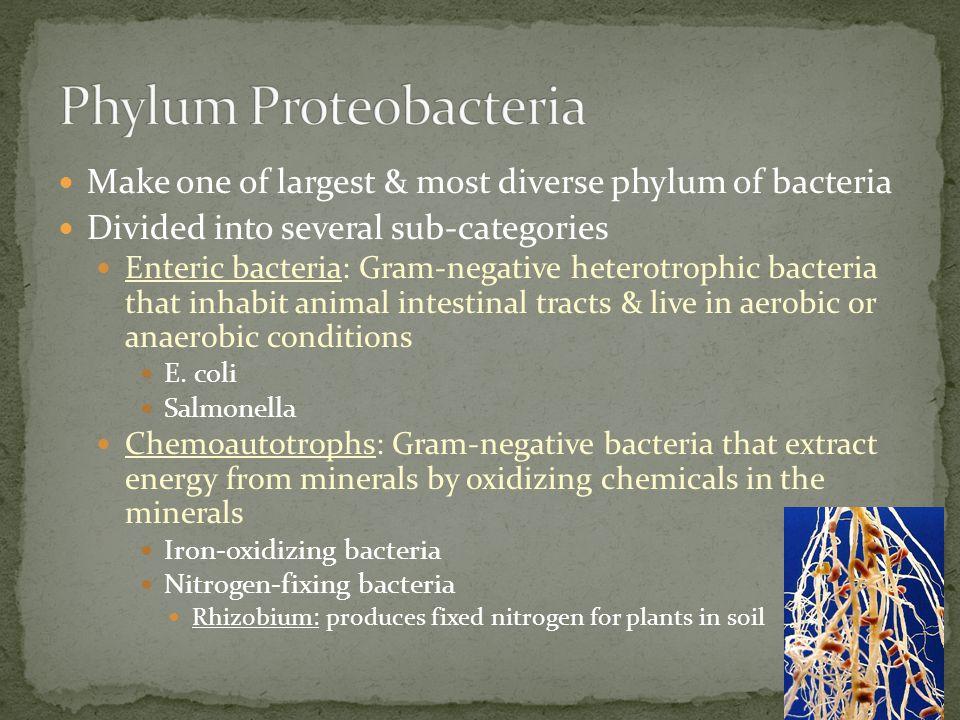 Phylum Proteobacteria