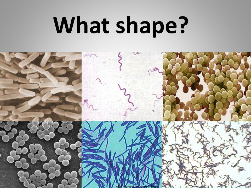 What shape bacillus spirillum coccus spirillum coccus bacillus