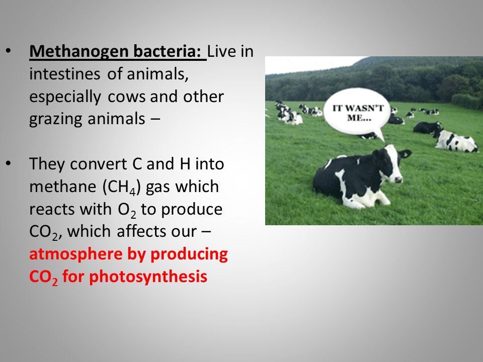 Methanogen bacteria: Live in intestines of animals, especially cows and other grazing animals –