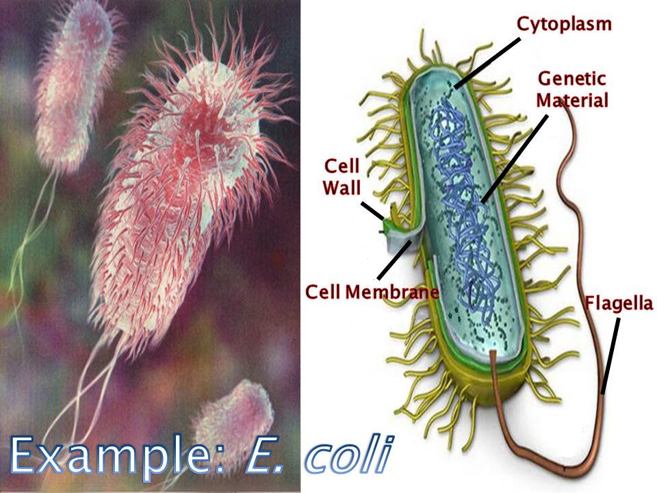 Example: E. coli Cytoplasm Genetic Material Cell Wall Cell Membrane