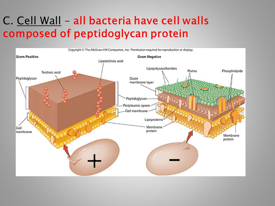 C. Cell Wall – all bacteria have cell walls composed of peptidoglycan protein