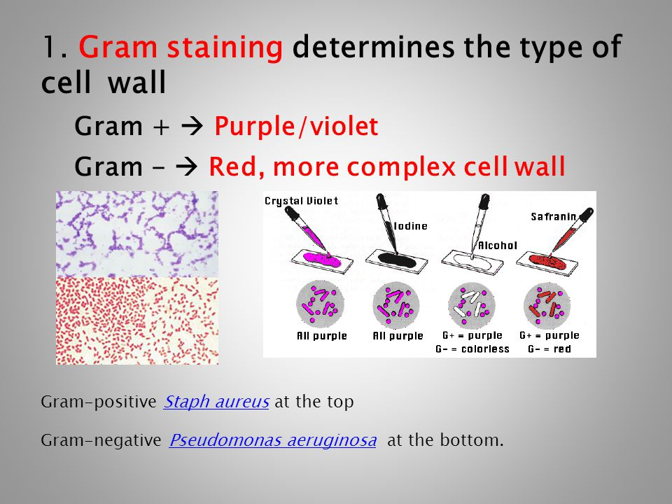 1. Gram staining determines the type of cell wall