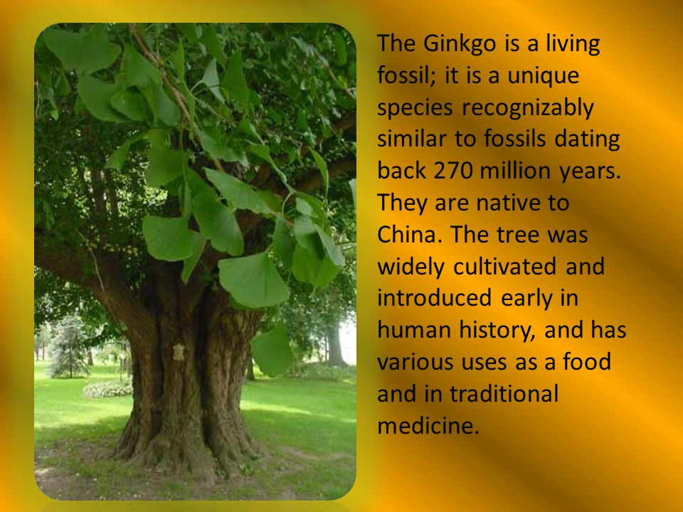 The Ginkgo is a living fossil; it is a unique species recognizably similar to fossils dating back 270 million years.