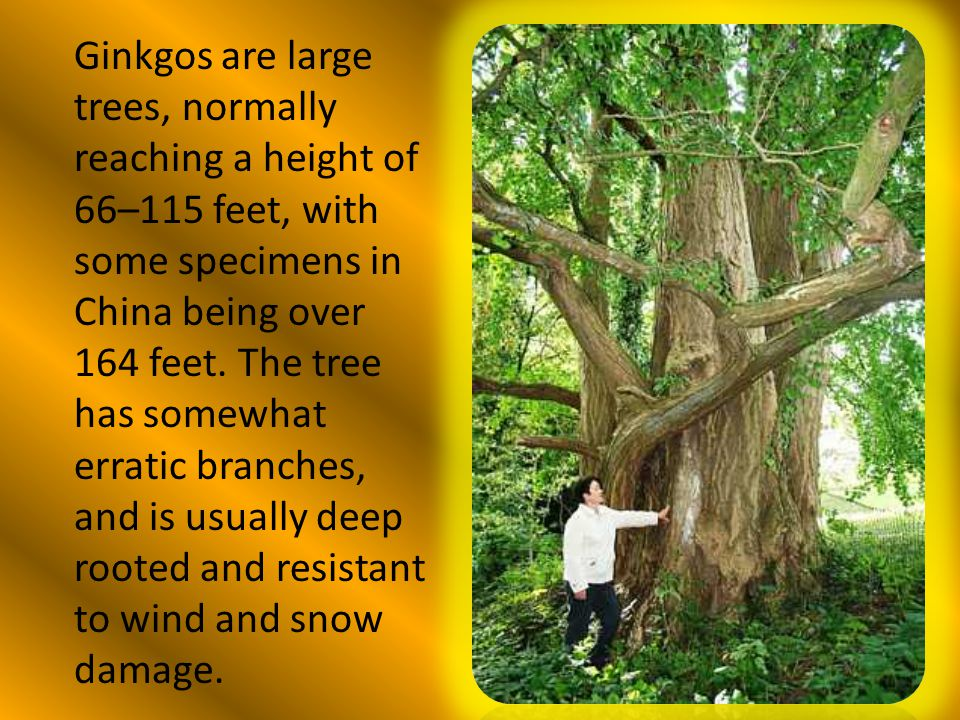 Ginkgos are large trees, normally reaching a height of 66–115 feet, with some specimens in China being over 164 feet.