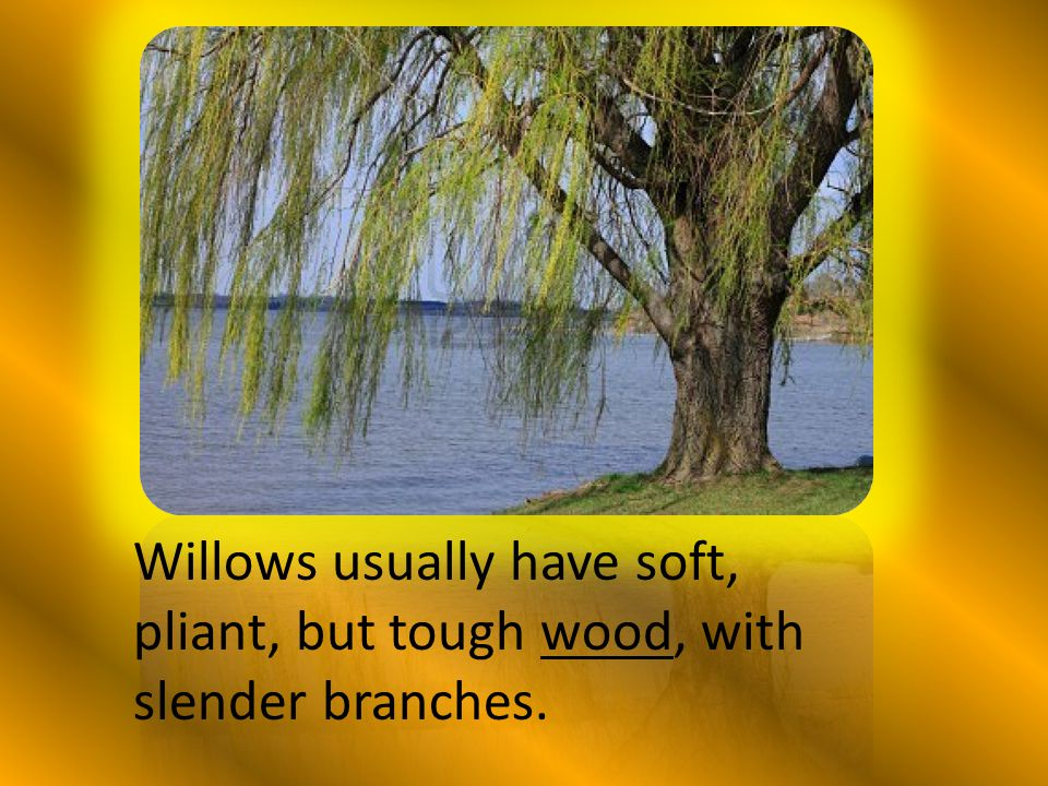 Willows usually have soft, pliant, but tough wood, with slender branches.