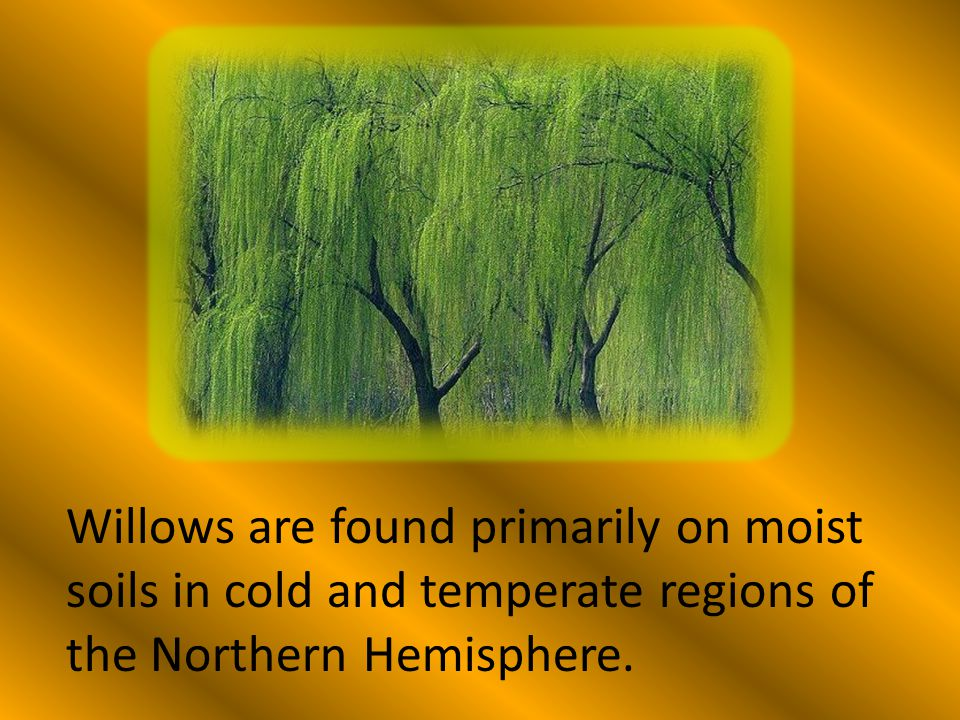 Willows are found primarily on moist soils in cold and temperate regions of the Northern Hemisphere.