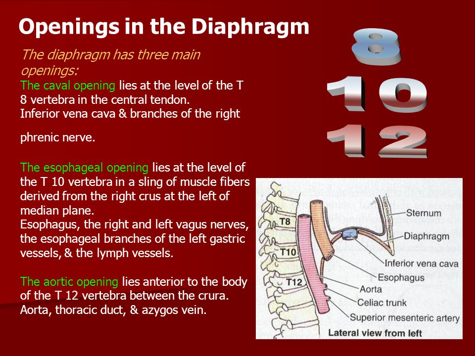 8 10 12 Openings in the Diaphragm