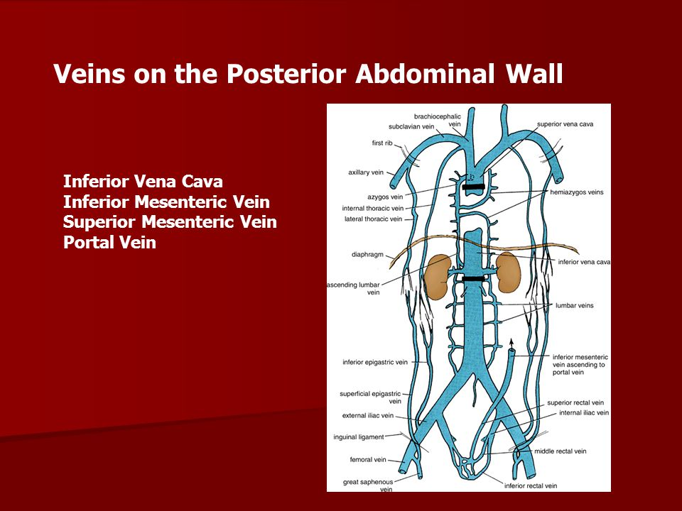 Veins on the Posterior Abdominal Wall