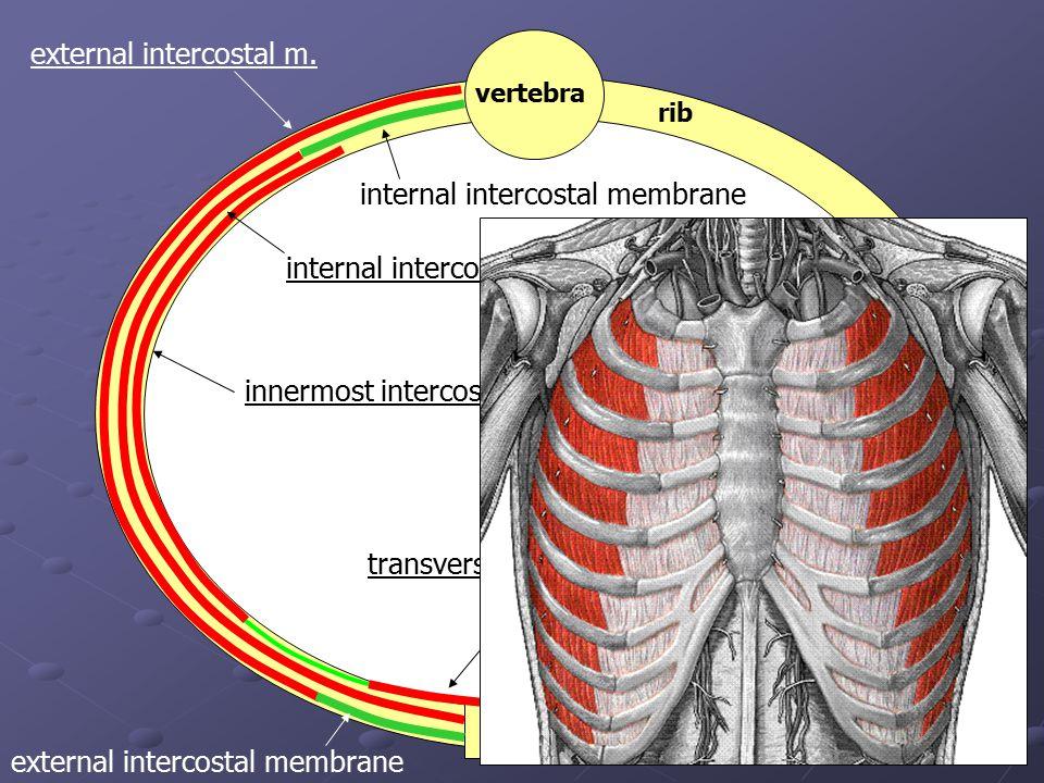 external intercostal m.