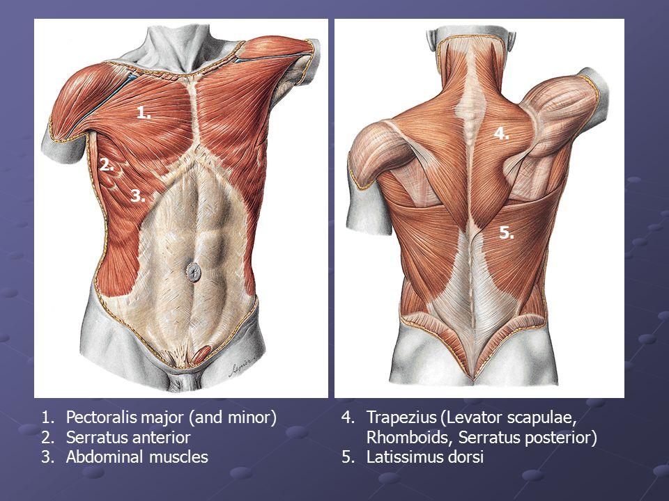 1. 4. 2. 3. 5. Pectoralis major (and minor) Serratus anterior. Abdominal muscles. Trapezius (Levator scapulae, Rhomboids, Serratus posterior)