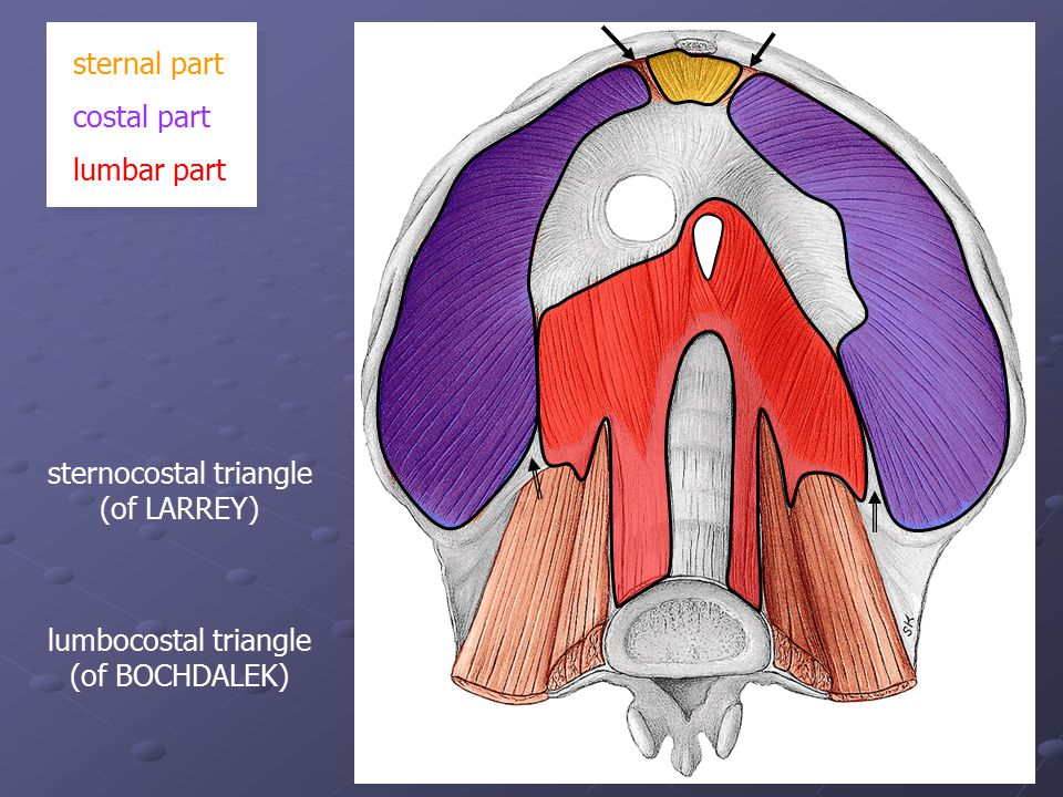 sternocostal triangle (of LARREY) sternal part costal part lumbar part