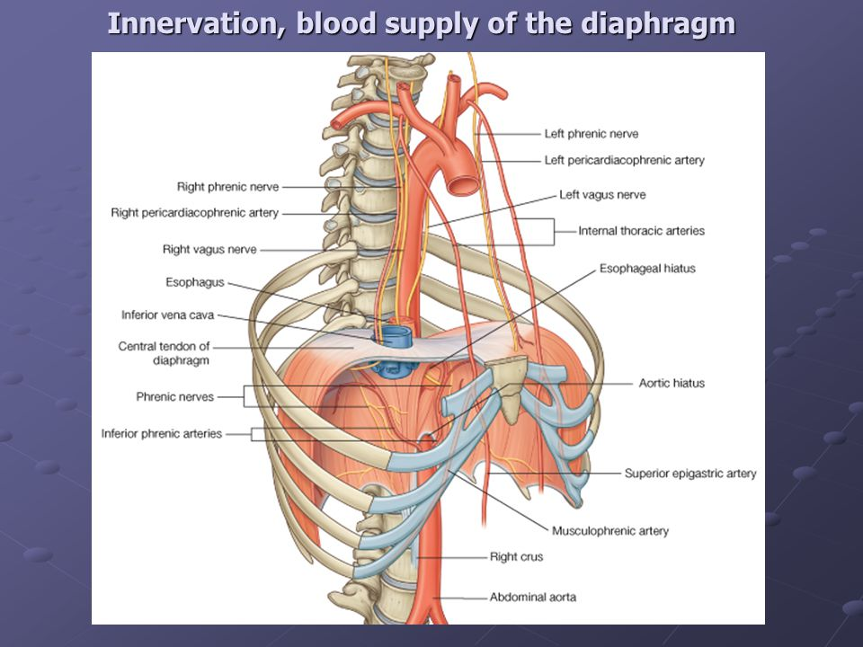 Innervation, blood supply of the diaphragm
