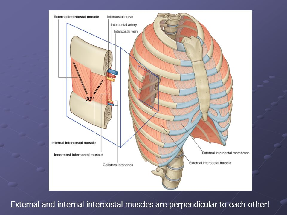 90° External and internal intercostal muscles are perpendicular to each other!