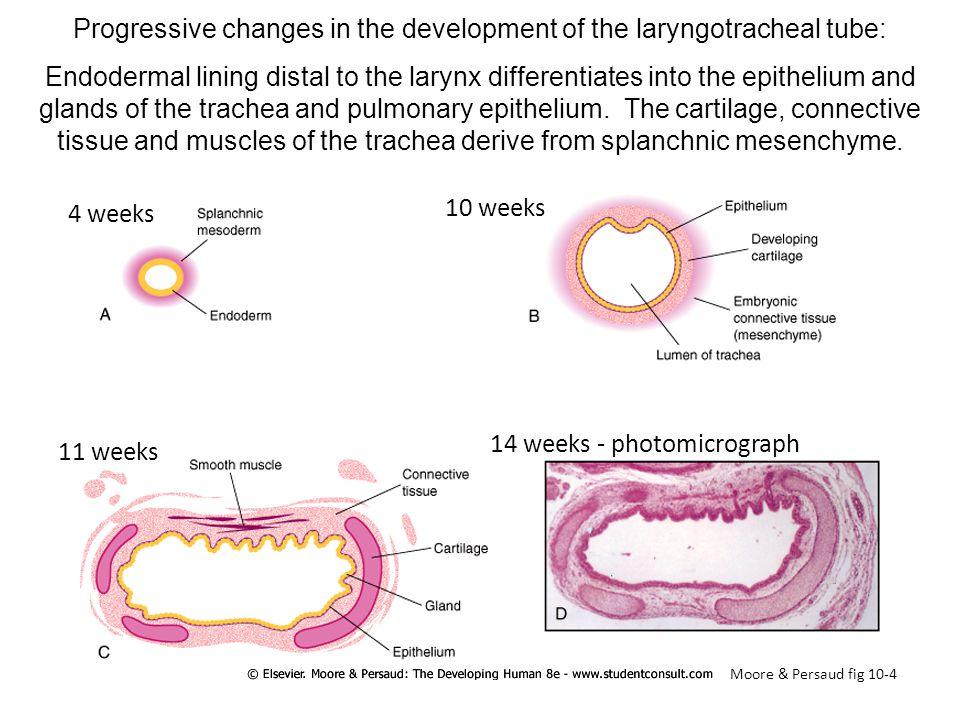 Progressive changes in the development of the laryngotracheal tube: