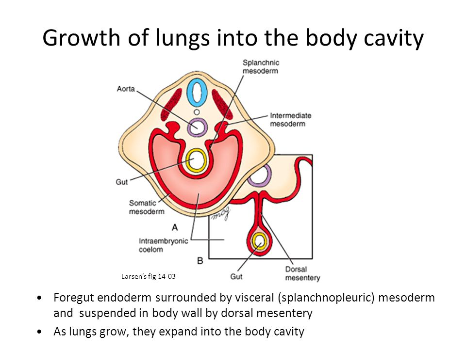 Growth of lungs into the body cavity