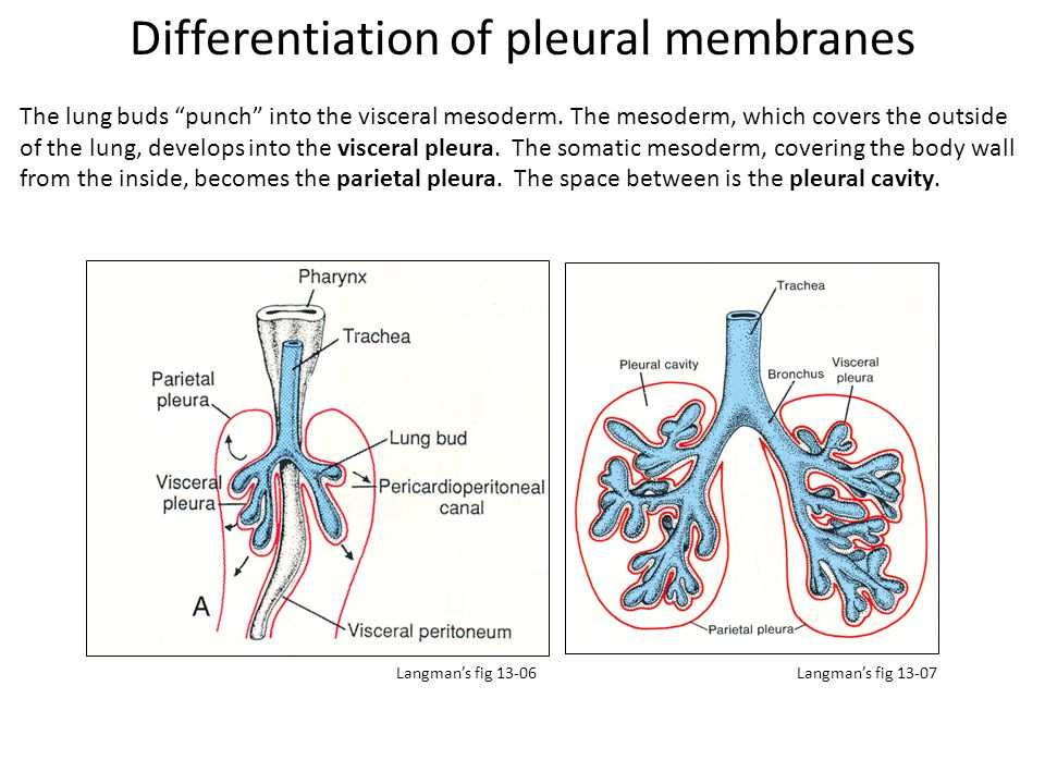 Differentiation of pleural membranes