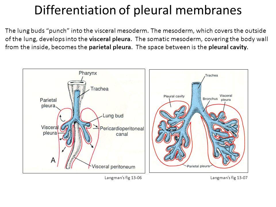 Differentiation of pleural membranes