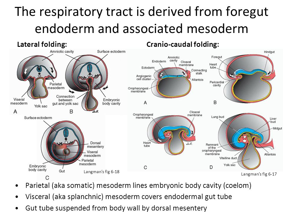 The respiratory tract is derived from foregut endoderm and associated mesoderm