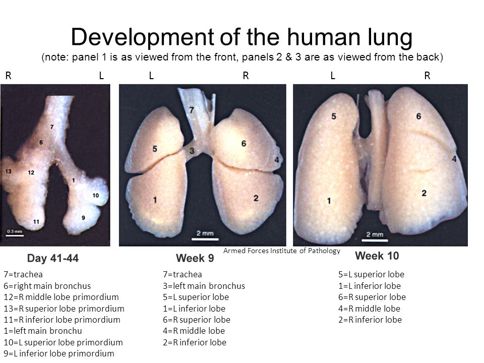 Development of the human lung (note: panel 1 is as viewed from the front, panels 2 & 3 are as viewed from the back)