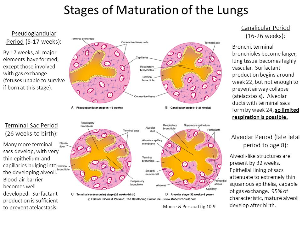 Stages of Maturation of the Lungs
