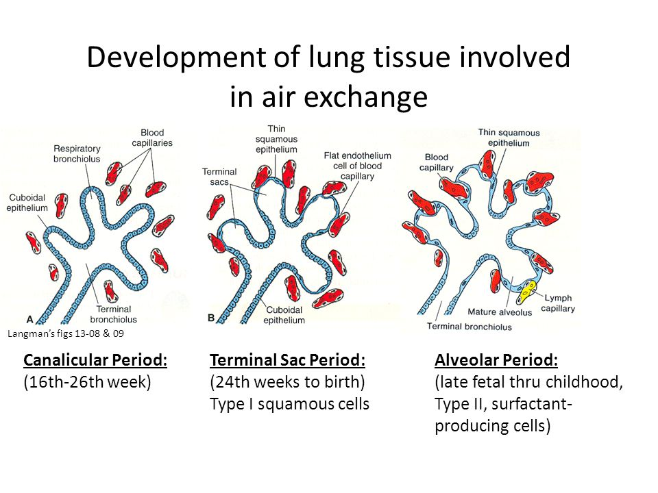 Development of lung tissue involved in air exchange