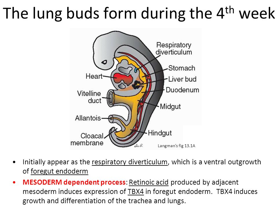 The lung buds form during the 4th week