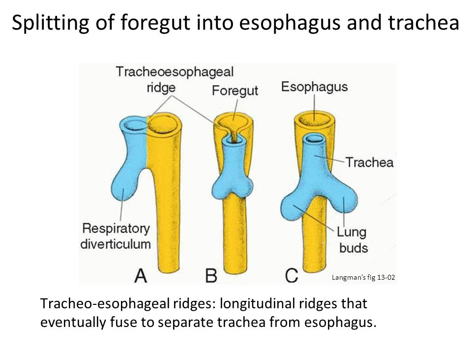 Splitting of foregut into esophagus and trachea